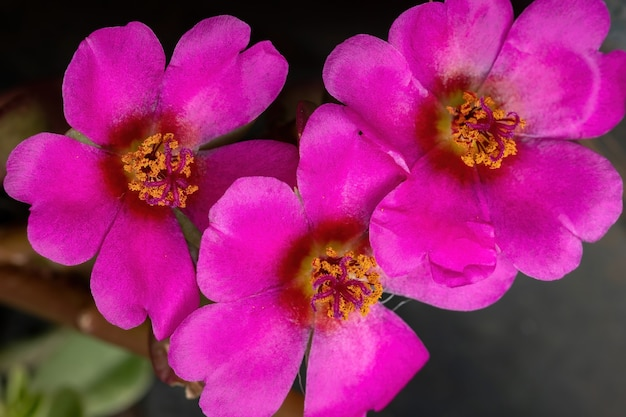 Парагвайский портулака цветок вида portulaca amilis Premium Фотографии