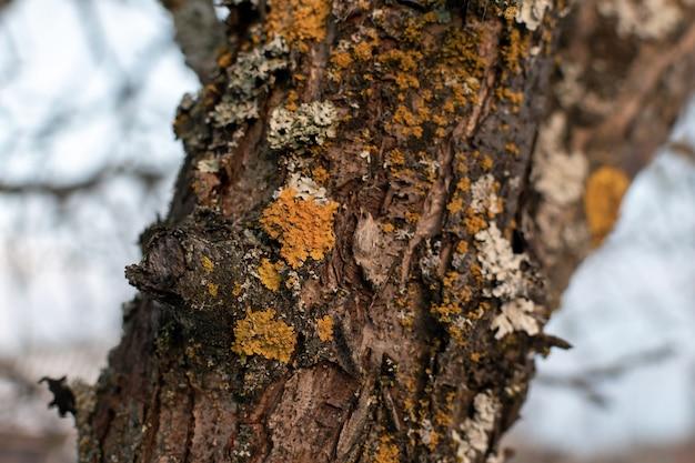 Parmelia sulcata lichen on a tree bark trunk Premium Photo