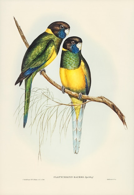 Parrakeet (platycercus bauerii) illustrated by elizabeth gould Free Photo