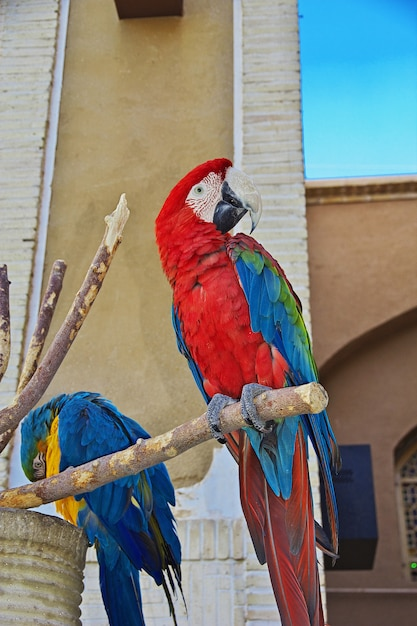 The parrot in yazd, iran Premium Photo