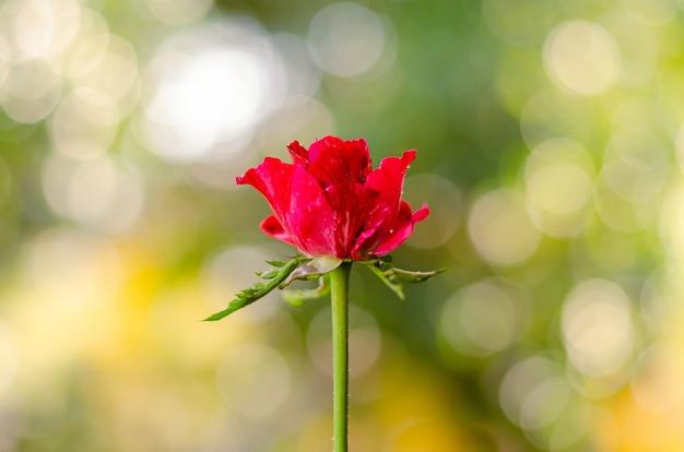 Частичный фокус красной лепестковой розы бутона с красочным боке для концепции дня святого валентина. Premium Фотографии