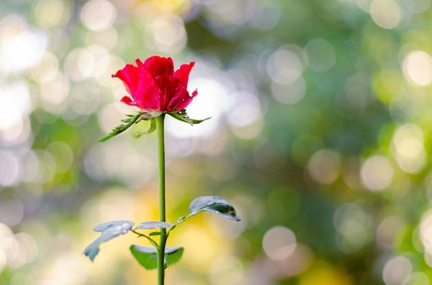 Частичный фокус красной розы Premium Фотографии