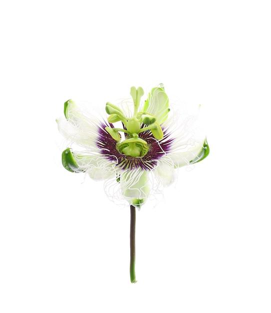 白で隔離のパッションフルーツの花 Premium写真