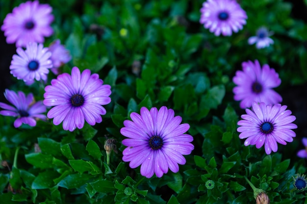 Patch of violet african daisies flowers on green grass nature in a spring garden Premium Photo