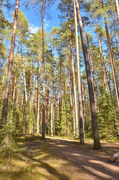 Дорожка в хвойном лесу хвойных пород Premium Фотографии