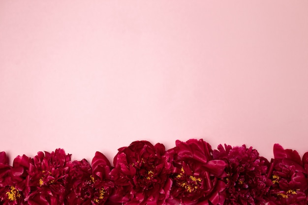 Pattern of beautiful aromatic fresh red peonies on pink Premium Photo