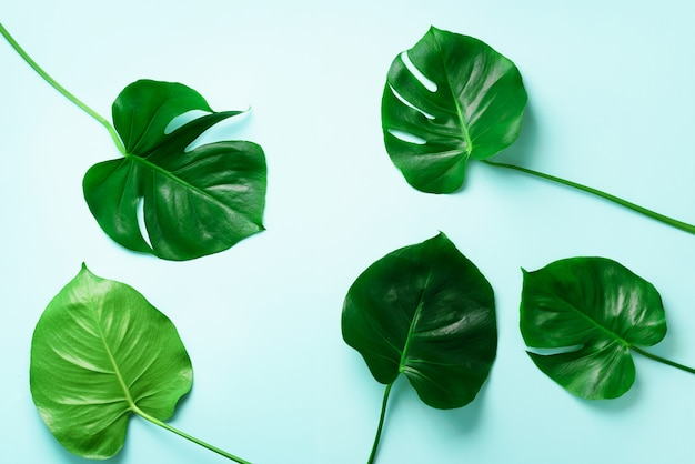 Pattern of tropical monstera leaves on blue background. flat lay. top view. pop art design, creative and exotic summer concept. minimal style. Premium Photo