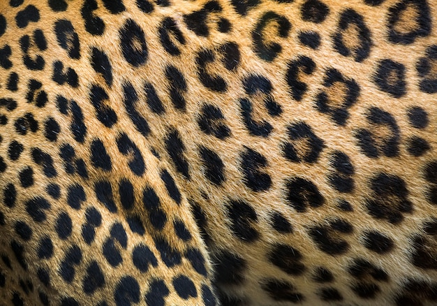 Patterns and textures of leopard for background. Premium Photo