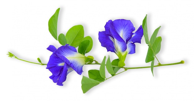 Pea flower isolated on white clipping path Premium Photo
