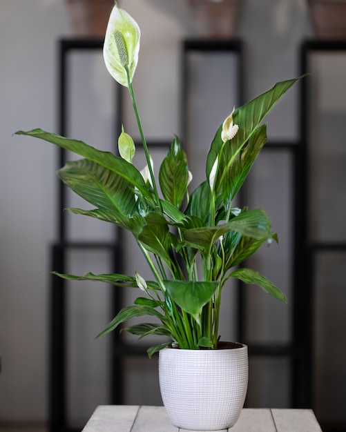 Peace Lily Indoor Plant Low Maintenance