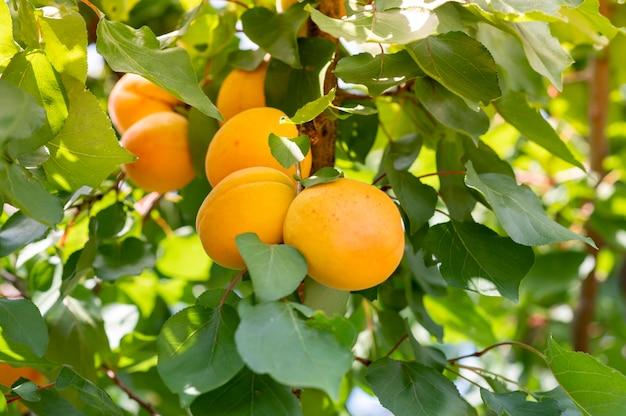 桃の木。田園風景の中の枝に新鮮な桃を閉じます。桃ジュースプロモーション Premium写真