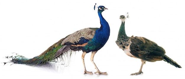Peacock in studio Premium Photo