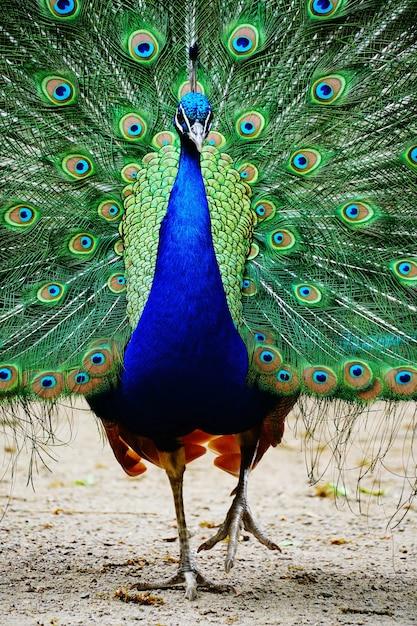 尾を開いたまま地面を歩く孔雀 無料写真