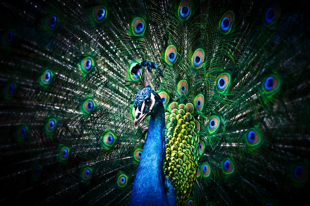 Peacock with feathers out Premium Photo