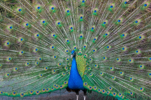 Peacock with multicolored feathers Free Photo