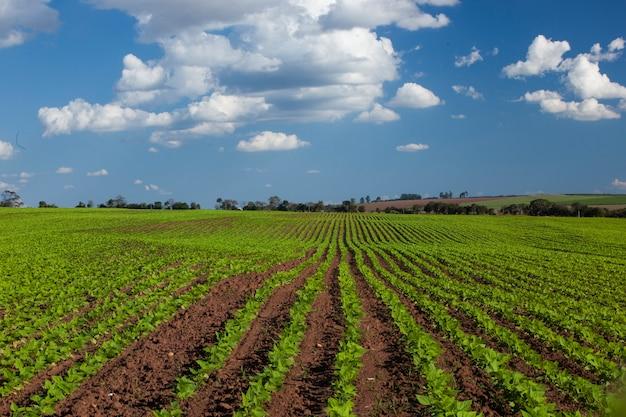 Peanut field under a blue sky. agriculture. Premium Photo