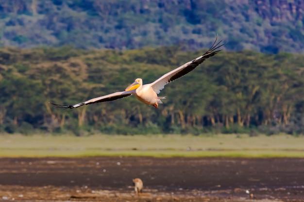 ペリカンは湖の上を飛んでいます。ナクル、ケニア Premium写真