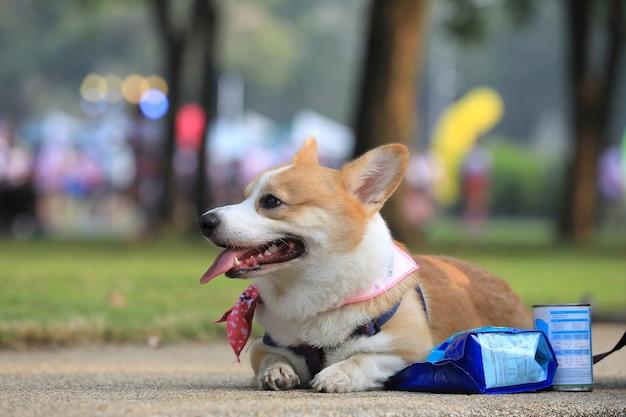コンテストを実行した後、公園のコンクリートの床に横たわっているペンブロークウェルシュコーギー犬の後ろ姿。 Premium写真