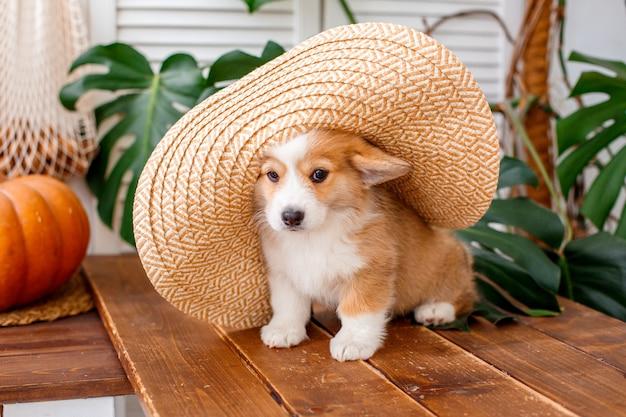 麦わら帽子の残りに座っているペンブロークウェルシュコーギーの子犬 Premium写真