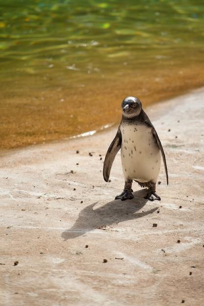 Penguin manchot Premium Photo