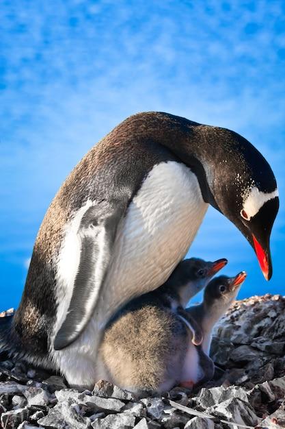 Мать-пингвин и двое ее детей в антарктиде Premium Фотографии