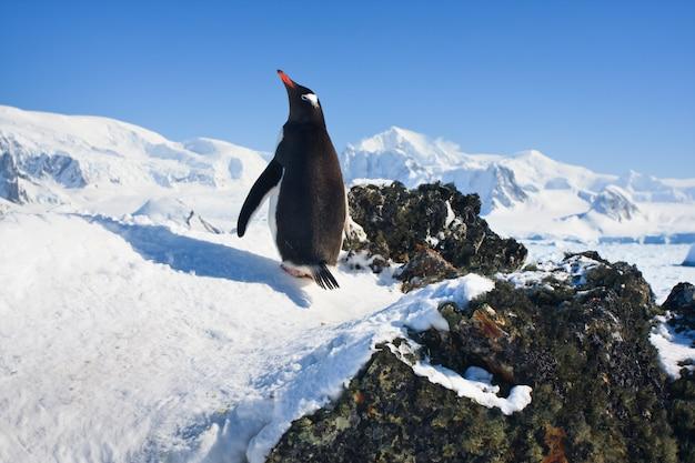 Пингвин на скалах Premium Фотографии