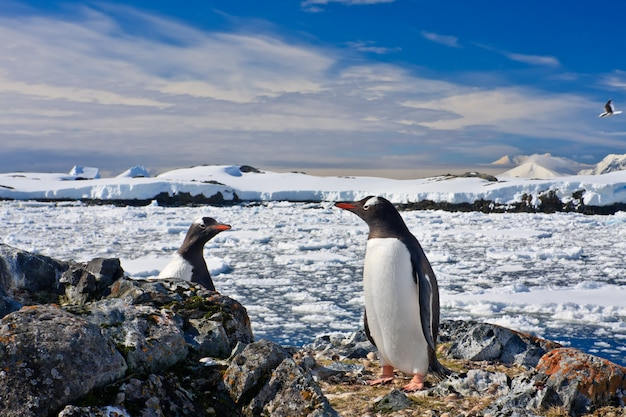 Penguins nest Premium Photo