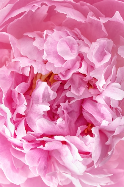 Peony petals close up Premium Photo