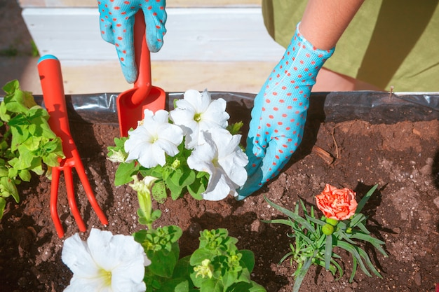 People, gardening, flower planting and profession concept - close up of woman or gardener hands planting Premium Photo