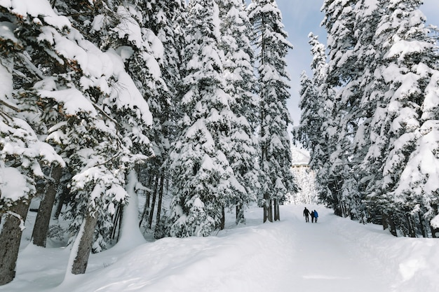 People in snowy pine tree forest Free Photo