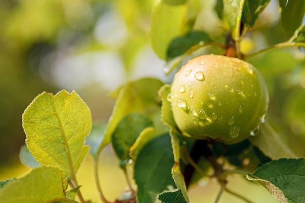有機リンゴ園の木に生えている完璧な青リンゴ Premium写真