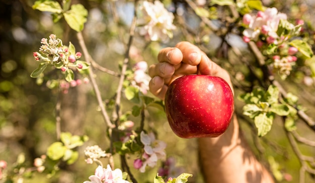 Person picking red apple from tree Premium Photo