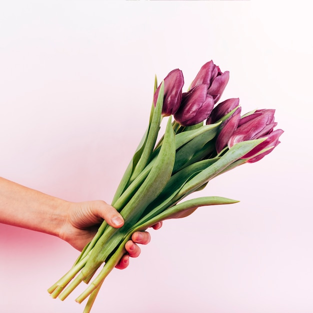 Person's hand holding blooming red tulip on pink background Free Photo