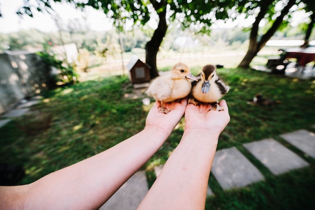 A person's hands holding two small ducklings in palm of hand Free Photo