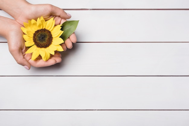 A person showing sunflower in hands over wooden background Free Photo