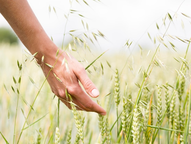 Person touching the wheat with its hand Premium Photo