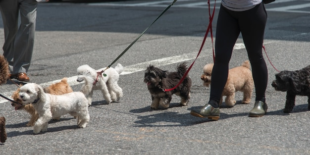 Person walking with dogs on street, manhattan, new york city