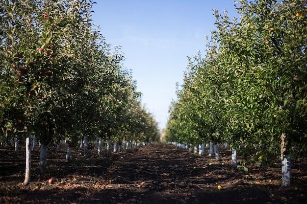 秋の晴れた日のリンゴの木の庭の透視画像。 Premium写真