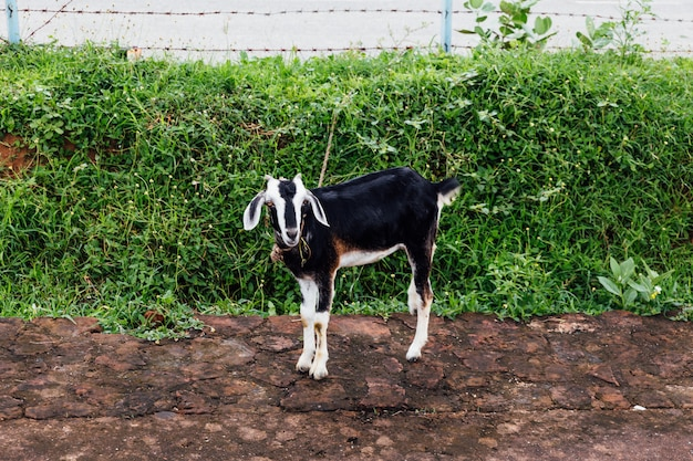Pet goat with black and white fur standing on dirt. Premium Photo