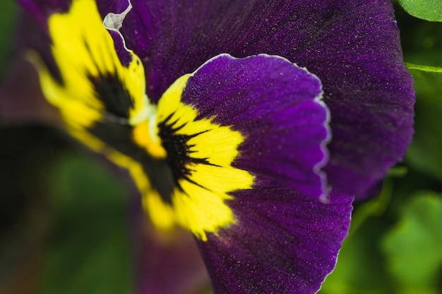 Petals of amazing violet fresh flower Free Photo