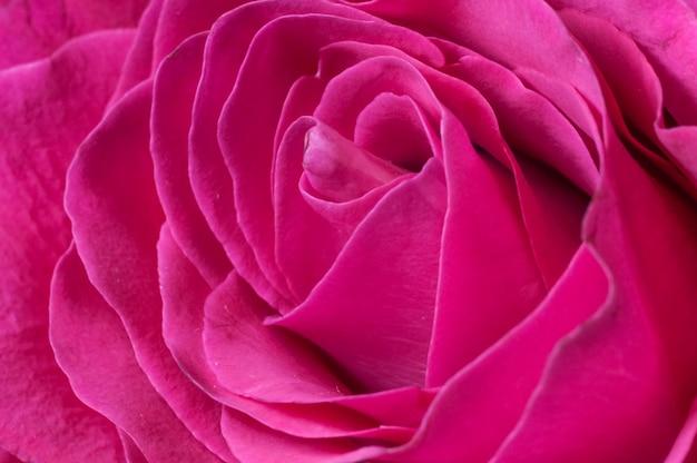 Petals of a fresh red rose closeup Premium Photo