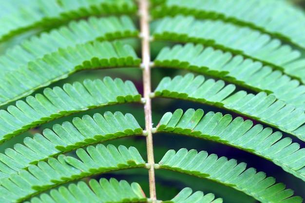 ピートの葉、インドネシアでパルキアスペシオサの葉の一般名 Premium写真