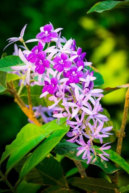 Petrea volubilis, красивые здоровые тропические фиолетовые цветки плюща, фиолетовые лепестки в саде. Premium Фотографии