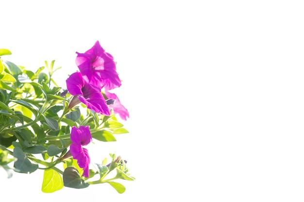 Petunia on with background. Premium Photo
