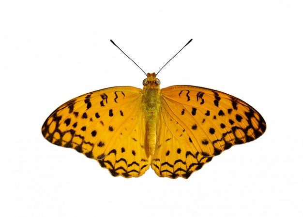 白い背景に分離された一般的なヒョウ蝶(ファランタphalantha)の画像 Premium写真