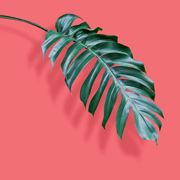 Philodendron tropical leaves on coral Premium Photo