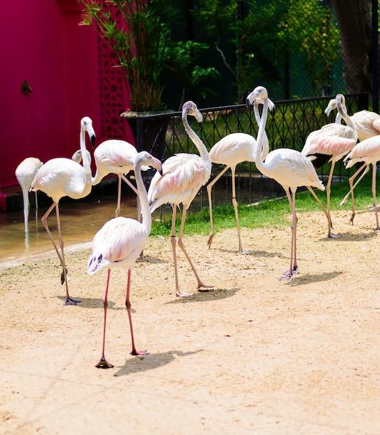 フラミンゴまたはフラミンゴは、phoenicopterus属の鳥類であり、 Premium写真