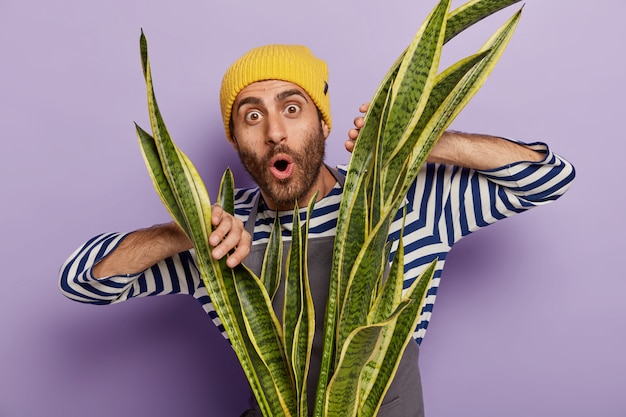 La foto di un uomo con la barba lunga colpito tiene le mani sulla pianta di sansevieria verde, ha uno sguardo stupito, indossa un maglione a righe e un cappello giallo, isolato su uno sfondo viola. fioritura in vaso. giardinaggio a casa Foto Gratuite