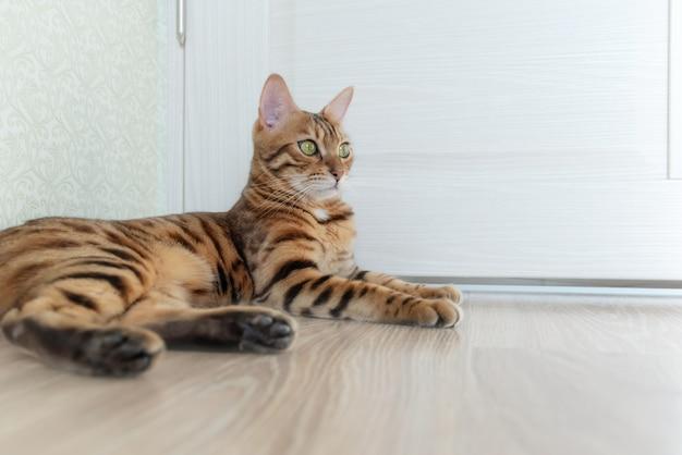 大きな目を持つベンガルの短髪の猫の写真彼女はドアのある部屋の木の床に横たわっています Premium写真