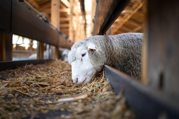 牧場の自動コンベヤーベルトフィーダーから餌を食べる羊の写真 無料写真
